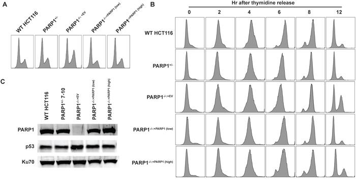 PARP1-null cells exhibit a G2-growth arrest.