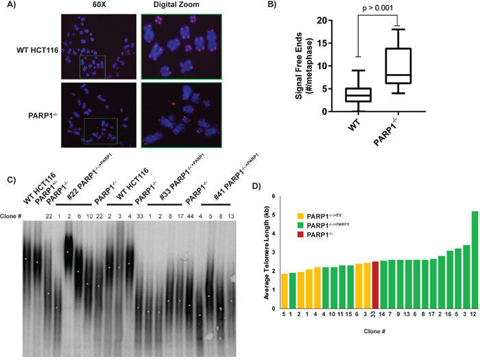 PARP1-null cells exhibit telomere dysfunction.