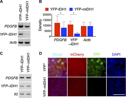 Markedly decreased YFP–IDH1R132H expression in subcutaneous tumor.