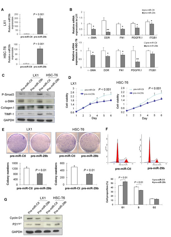 miR-29b inhibits HSC proliferation and arrests cell cycle in G1 phase.