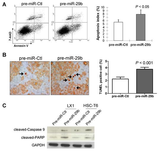 miR-29b induces HSC apoptosis.