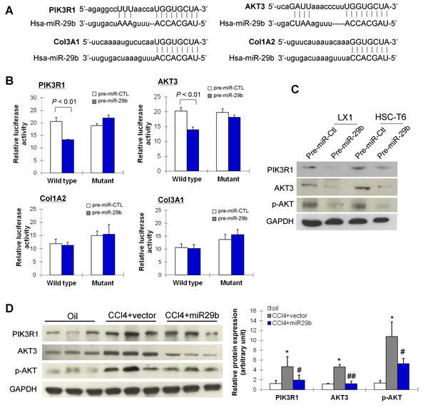 miR-29b inhibits liver fibrosis and suppresses the activation of HSCs through direct targeting PIK3R1 and AKT3.