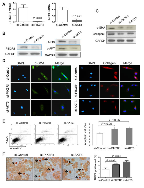 Knockdown of PIK3R1 or AKT3 reduces HSC activation and induces HSC apoptosis.