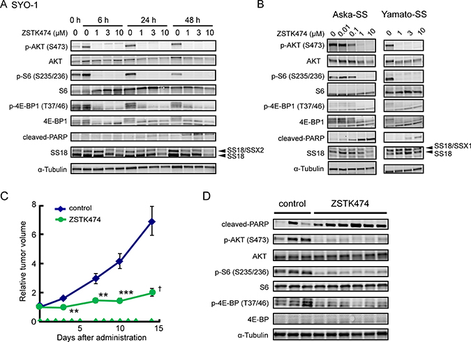 Effect of ZSTK474 on PI3K-downstream signaling pathway, apoptosis progression and in vivo antitumor activity in synovial sarcoma cell lines.