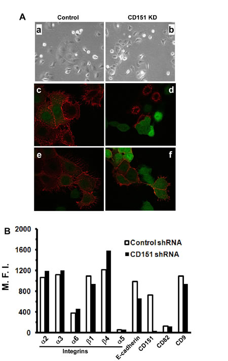 Impact of CD151 ablation on ovarian tumor cell-cell contact.