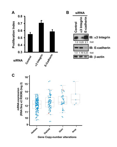 CD151-associated α3 integrin suppresses ovarian tumor cell proliferation.