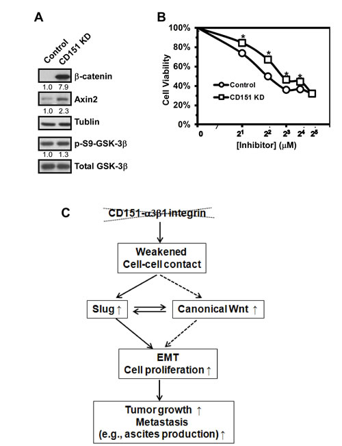 Induction of canonical Wnt signaling in ovarian cancer cells upon CD151 removal.