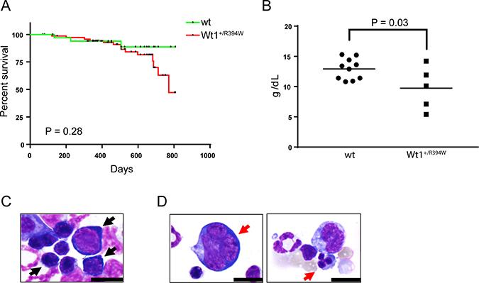 Hematologic characterization of knock-in Wt1+/R394W mice.
