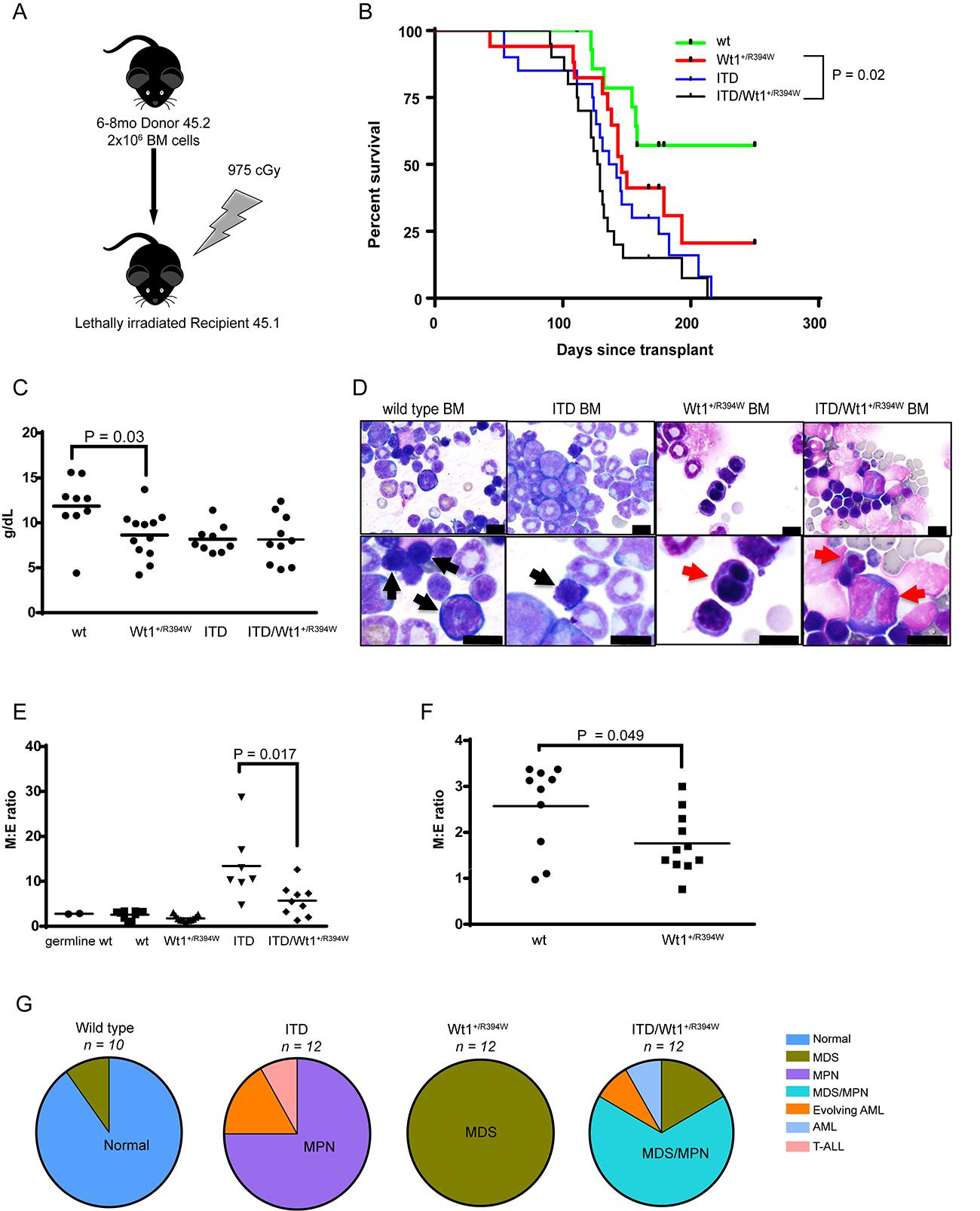 Hematologic characterization of a transplant model of Wt1+/R394W x Flt3+/ITD.
