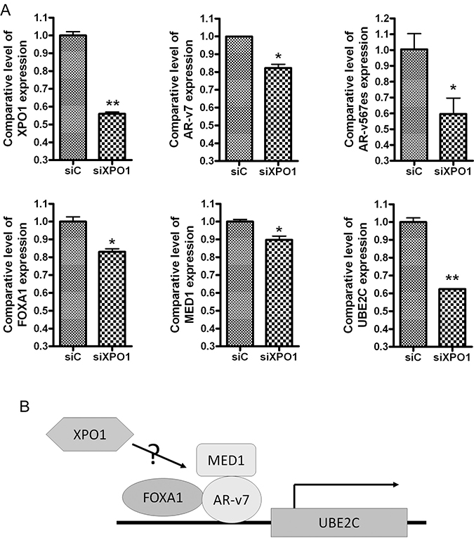 Silencing of XPO1 inhibits AR splice variants and their regulators.