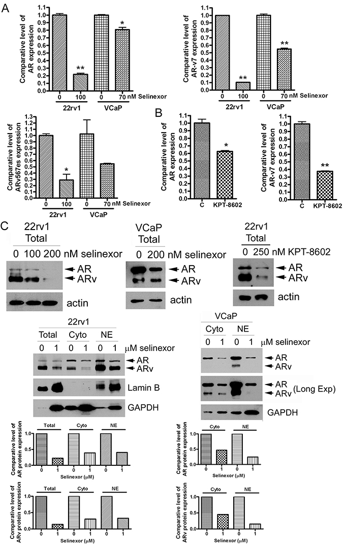 SINE significantly inhibits AR and AR splice variants.