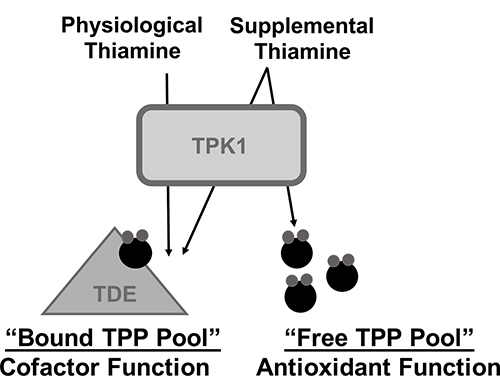 Schematic representation for the hypothesized role of TPK1 in mediating the effects of supplemental thiamine on malignant progression.