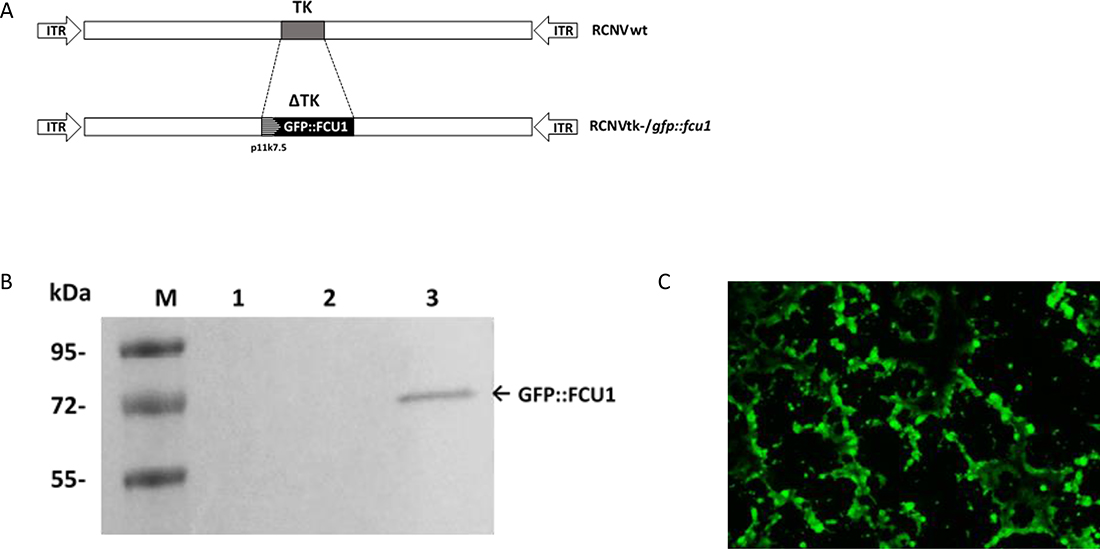 Generation of RCNV expressing the GFP::FCU1 fusion gene and evaluation of the GFP::FCU1 protein expression.