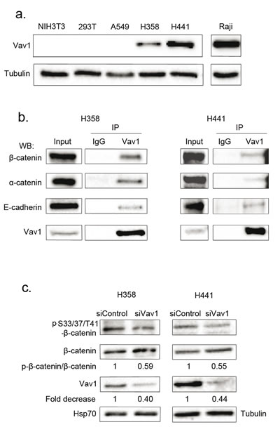 Vav1 interacts with β-catenin in lung epithelial cancer cell lines.