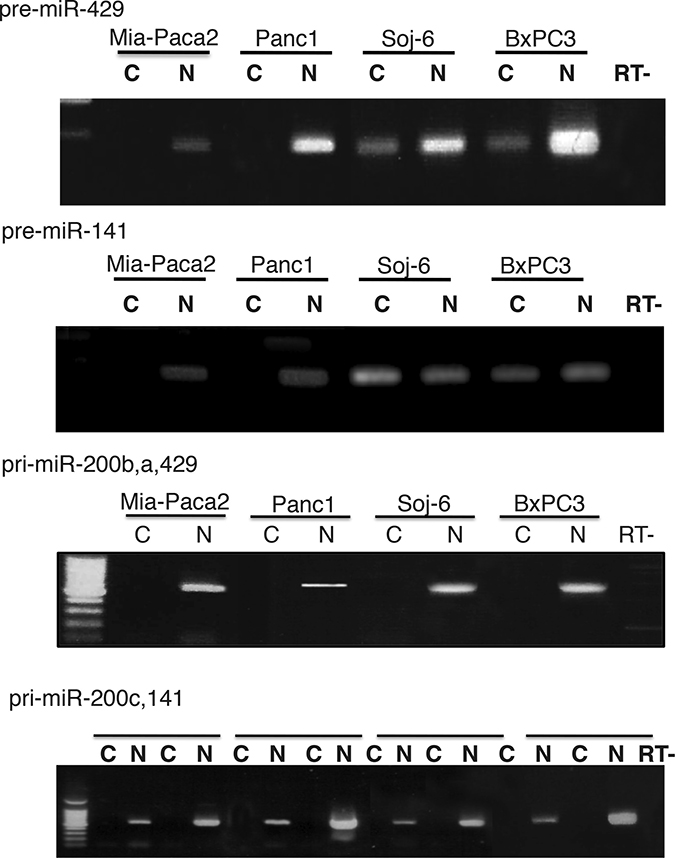 Subcellular location of miR-200 precursors in tumoral pancreatic cell lines.
