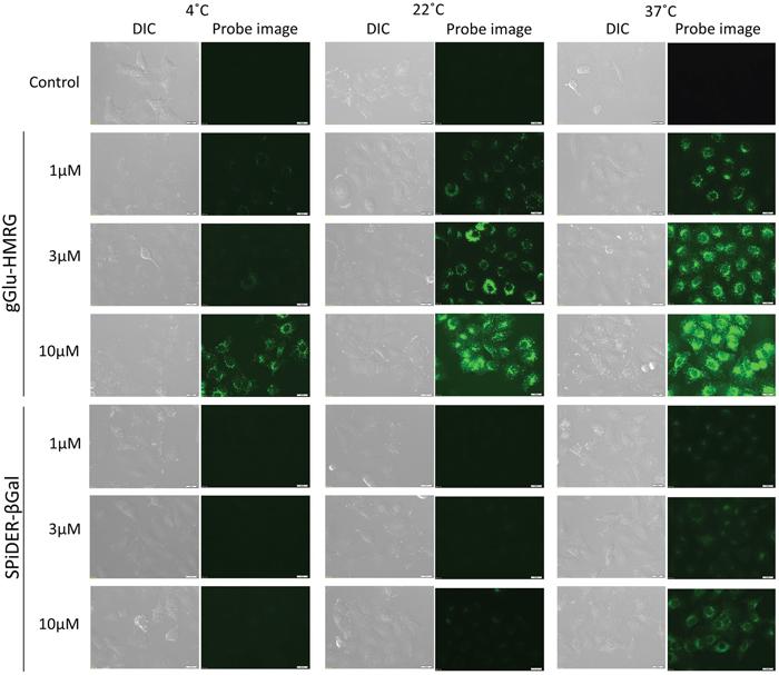 Fluorescence microscopic studies.