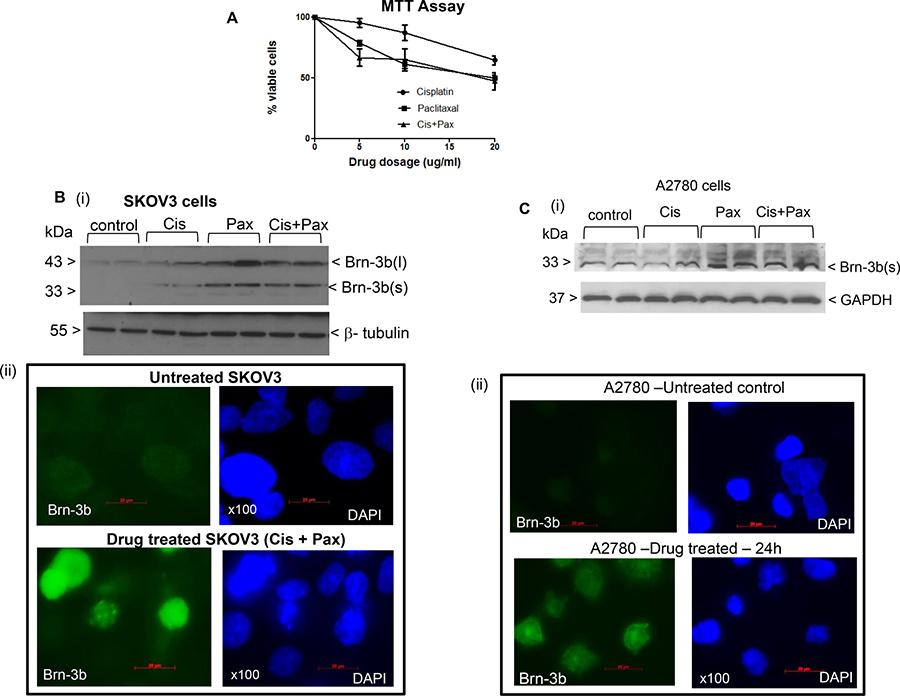 Brn-3b induction in drug treated SKOV3 cells.