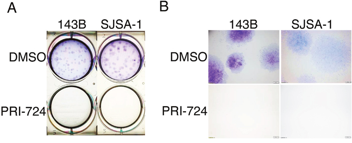 Effects of PRI-724 on 143B and SJSA-1 cell colony formation.