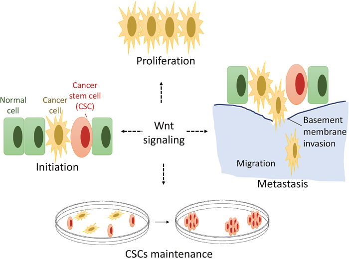 A hypothetical model of Wnt signaling in OS genesis and development.