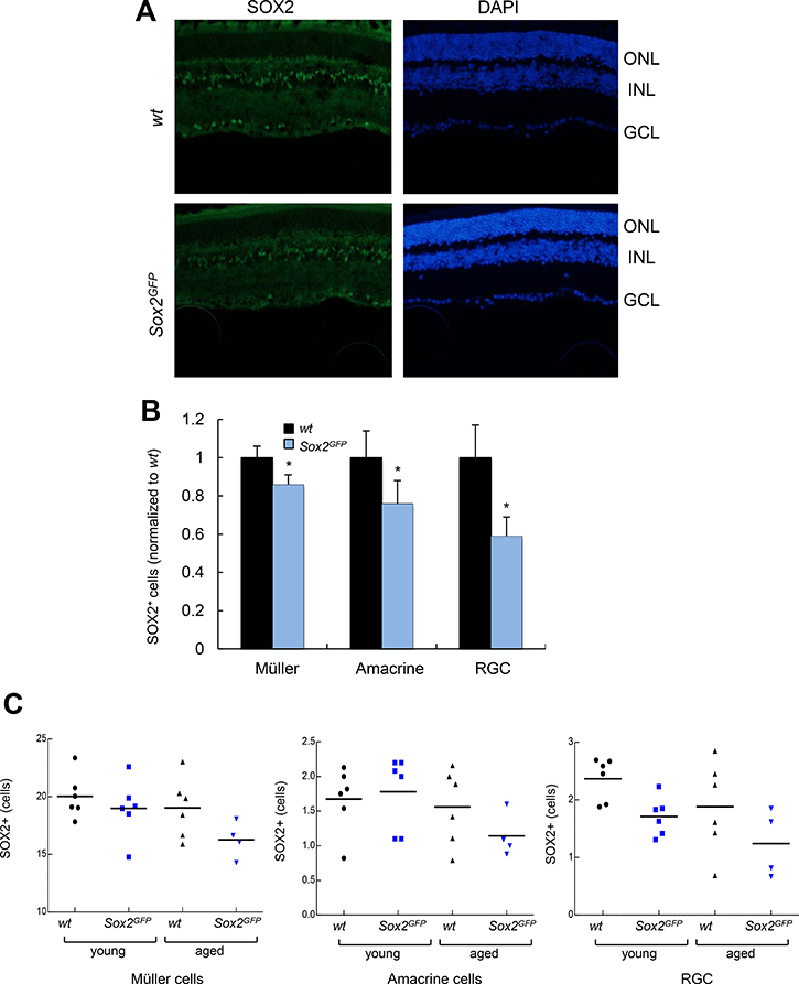 Aged Sox2-haploinsufficient mice have small numbers of certain retinal cell types.