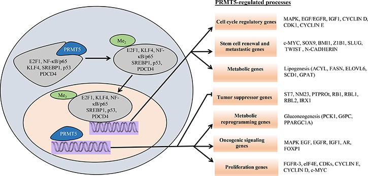 Schematic model of PRMT5-regulated cellular processes.