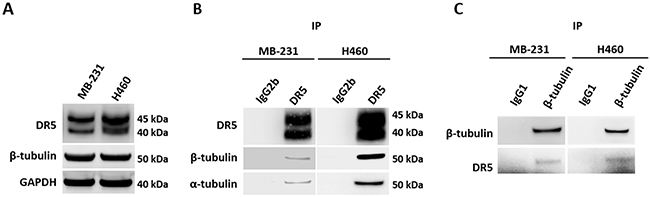 Endogenous DR5 and tubulin interaction.