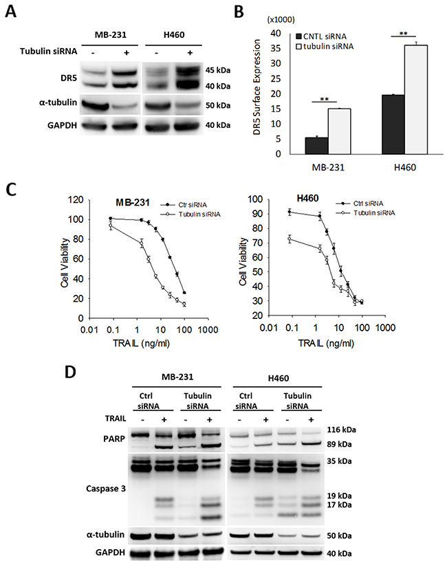Silencing tubulin increases DR5 expression and TRAIL induced apoptosis.