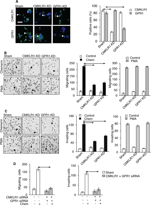 CMKLR1 and GPR1 mediate the effects of chemerin on AGS cells.
