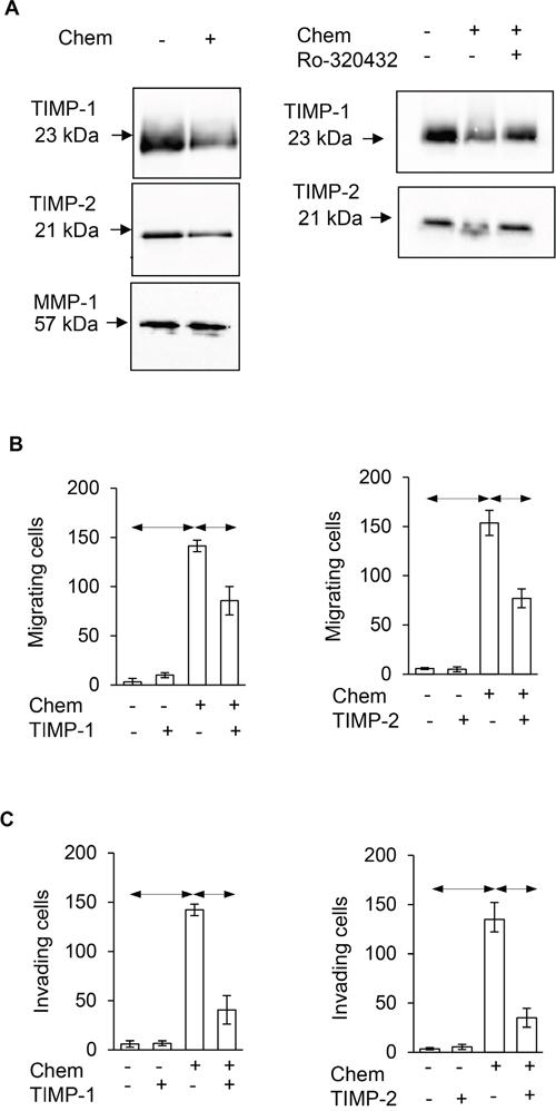 Chemerin stimulates migration and invasion via suppression of TIMP-1 and TIMP-2.