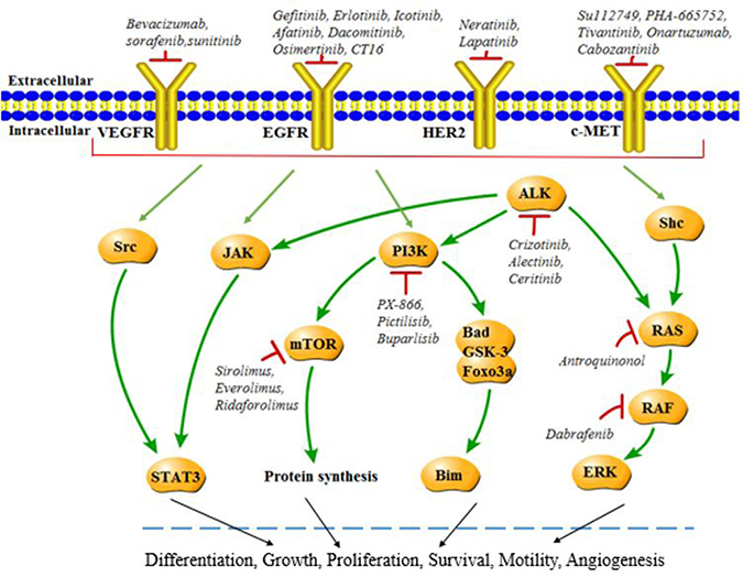Molecular targets in NSCLC.