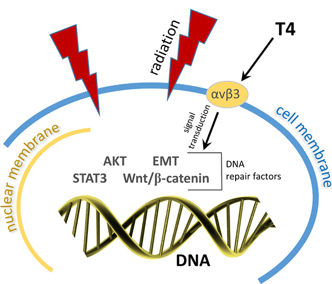 Radiation induces double-strand DNA breaks.