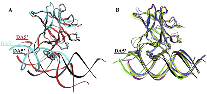 Superimposition of the p53 variants shows the displacement of the DNA in the mutants' complexes.