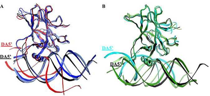 Superimposition of the p53 variants shows the displacement of the DNA in the mutants' complexes and R273H-CmQB-p53 from the control simulations.