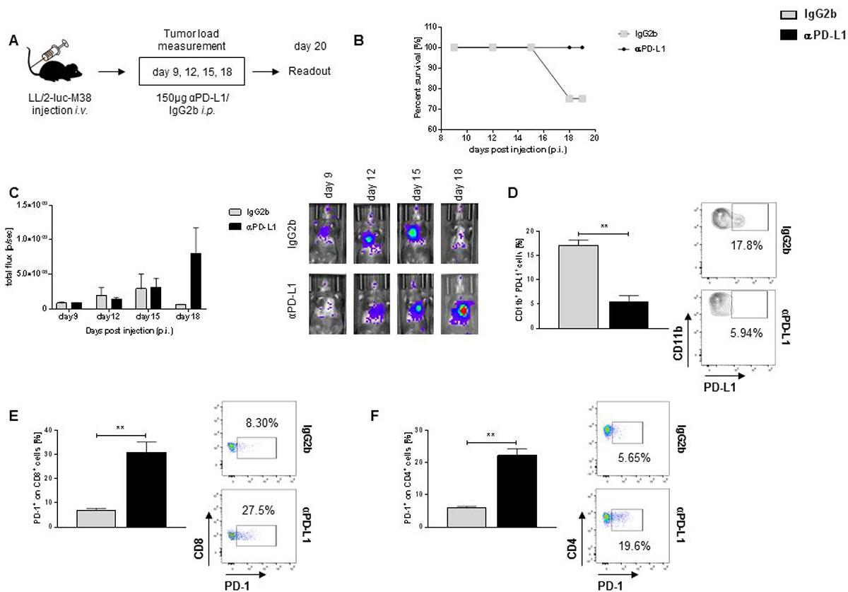 αPD-L1 antibody therapy resulted in better survival rates but is also associated with increase expression of PD-1 in TIL.