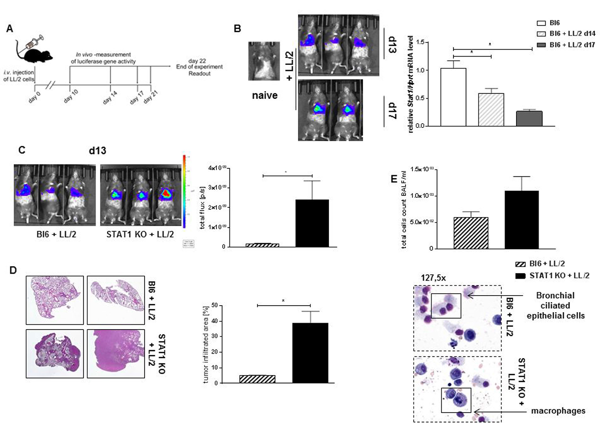 STAT1 deficiency is associated with induced tumor development.