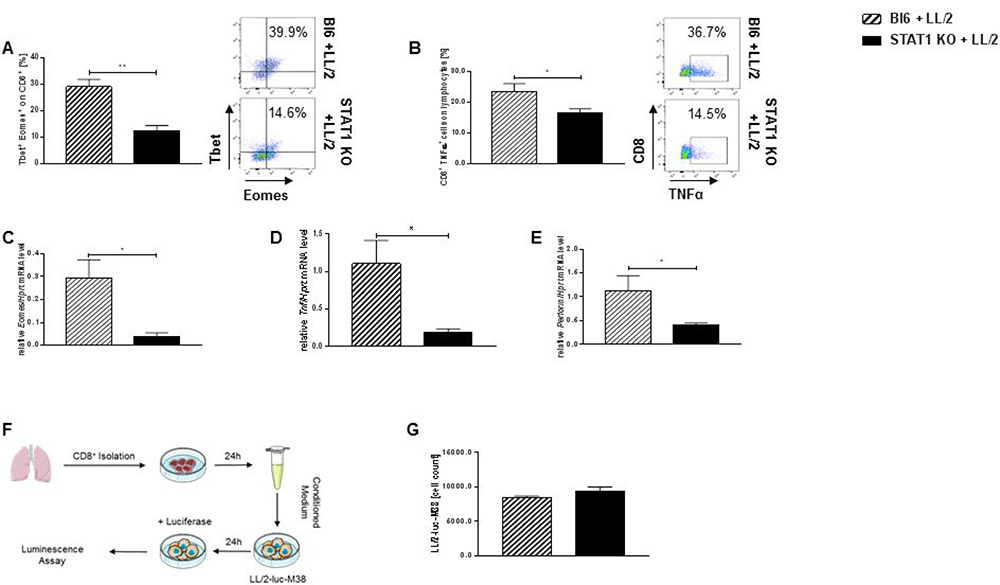 Loss of Stat1 negatively impairs cytotoxic capacity of tumor infiltrating CD8+ T lymphocytes.