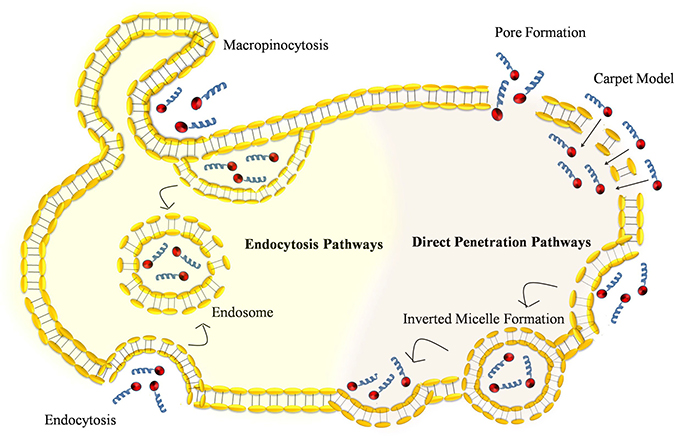 Comparison of various types of pathways used by cell penetrating peptide to facilitate cellular internalization: Direct penetration of CPP-peptide complex into the plasma membrane is an energy independent models such as pore formation, carpet model, and inverted micelle formation.