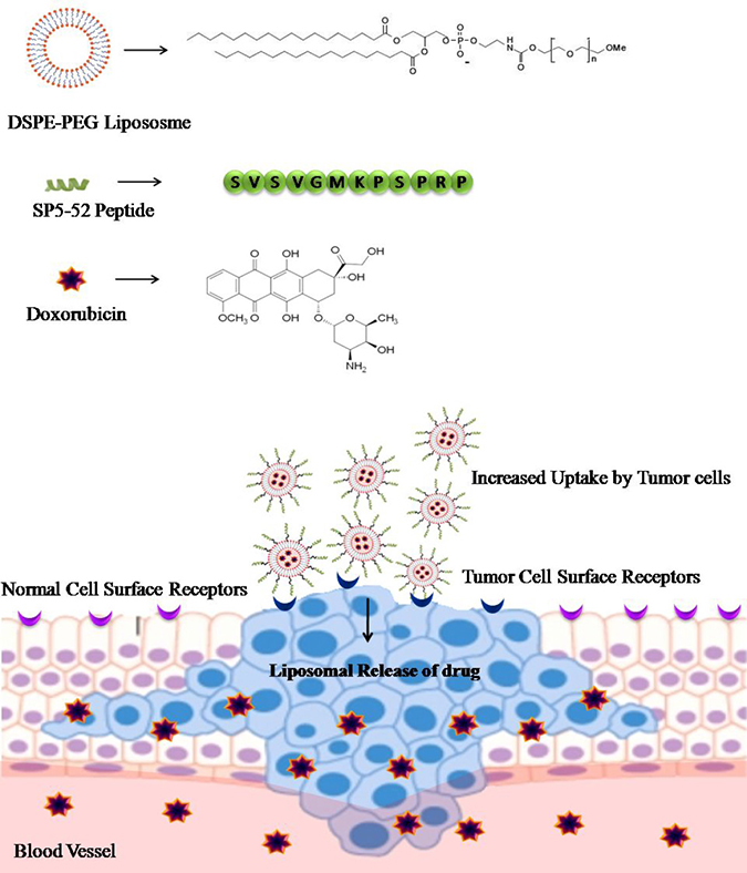 Delivery of doxorubicin using DSPE-PEG liposome as a carrier: SP5-52 peptide is conjugated onto the surface of doxorubicin loaded DSPE-PEG liposomes.