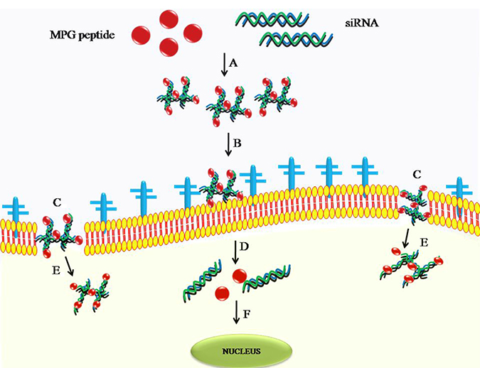 Delivery of siRNA using cell penetrating peptide as a cargo.