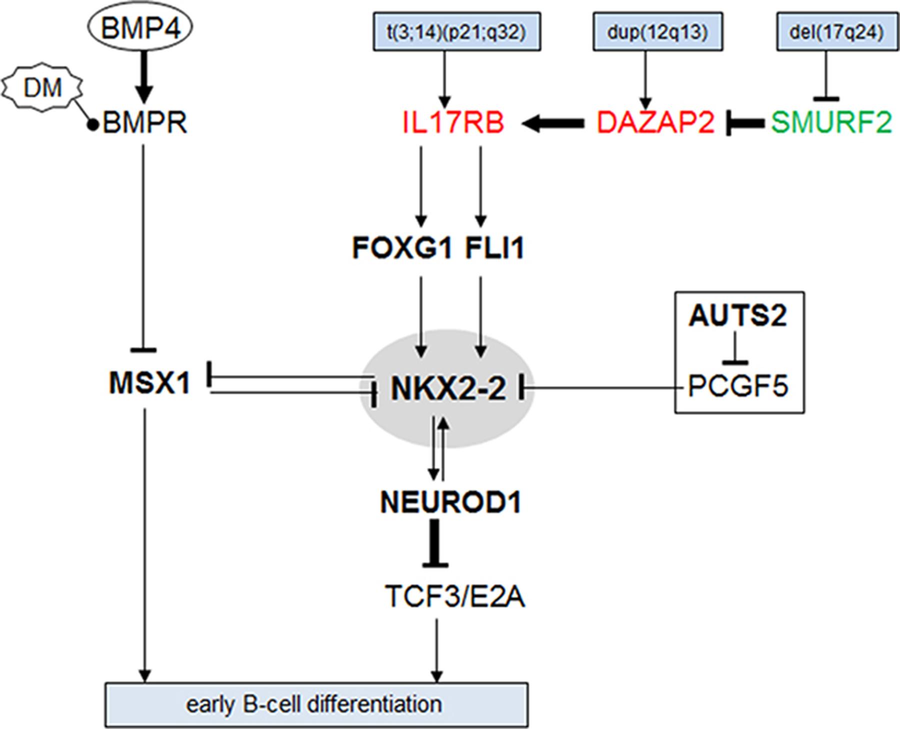 Aberrant gene regulatory network around NKX2-2.