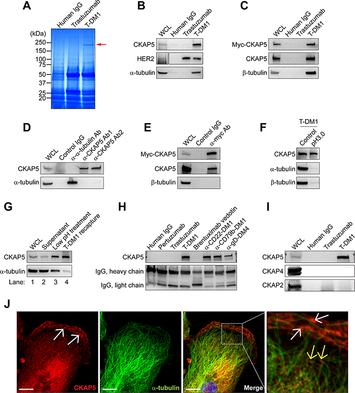 Identification and characterization of CKAP5 as a novel T-DM1-binding protein expressed on the plasma membrane.