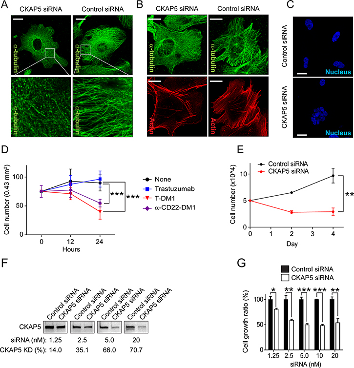Silencing CKAP5 interrupts microtubule networks, resulting in nucleus fragmentation and THLE2 cell growth inhibition.