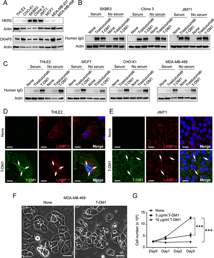Binding of T-DM1 to cell surface CKAP5 is independent of HER2.