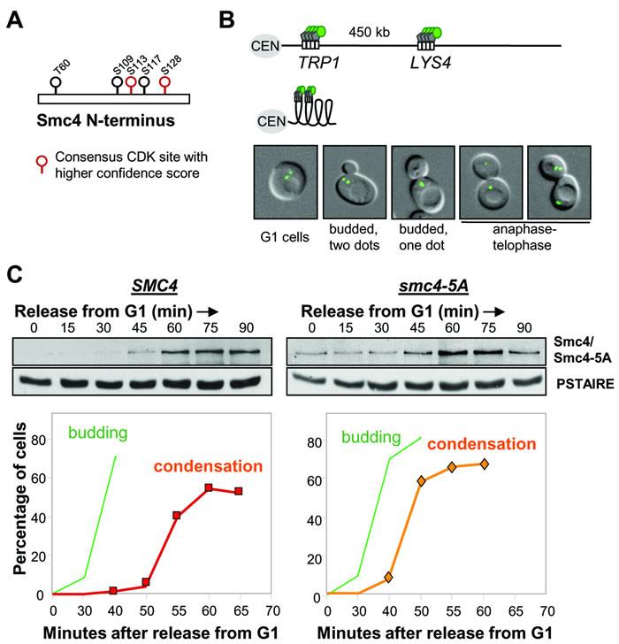 Smc4 CDK sites are dispensable for chromosome condensation.