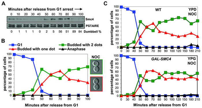 When chromosomes decondense in nocodazole arrested cells, Smc4 protein is degraded.