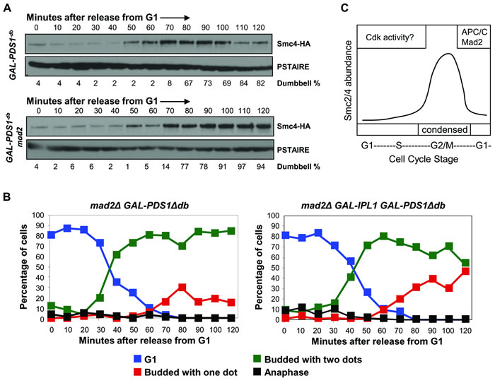 Mad2 is required for Smc4 degradation in mitosis.