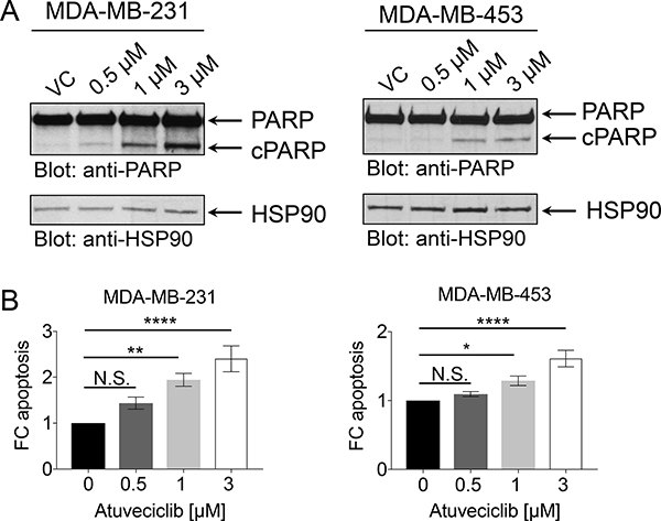 Effect of atuveciclib on apoptosis in TNBC cell lines.