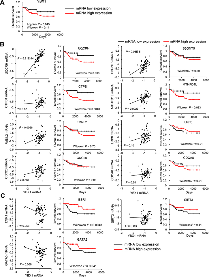 Genes correlated with YBX1 are closely associated with overall survival.