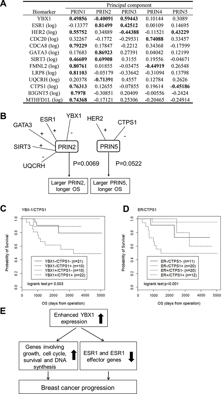 YBX1 and its correlated genes are predictive markers for a poor prognosis.