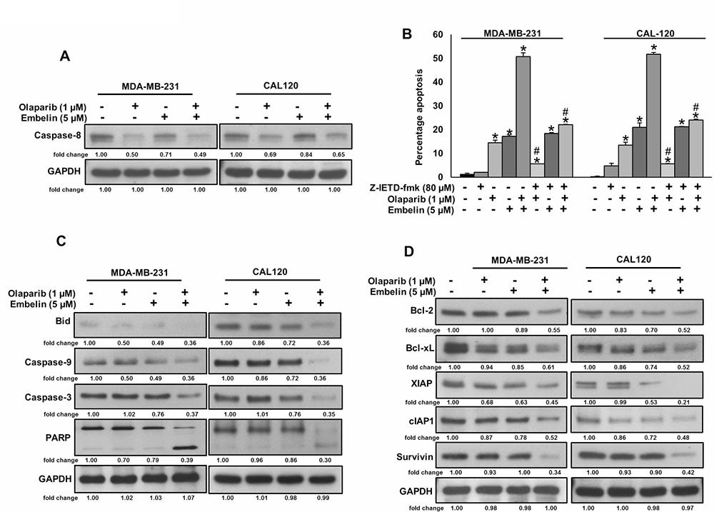 Olaparib but not embelin activates caspase-8 mediated extrinsic apoptotic signaling pathway in BC cells.